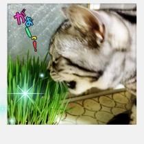 ねこ草を食べるアメショーさくらたん。
