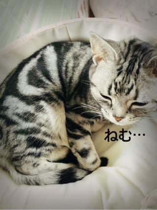 眠いアメショーさくらたん。