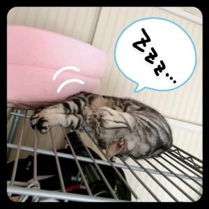 ラックの上で寝るさくらたん。