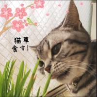 猫草食す!さくらたん。