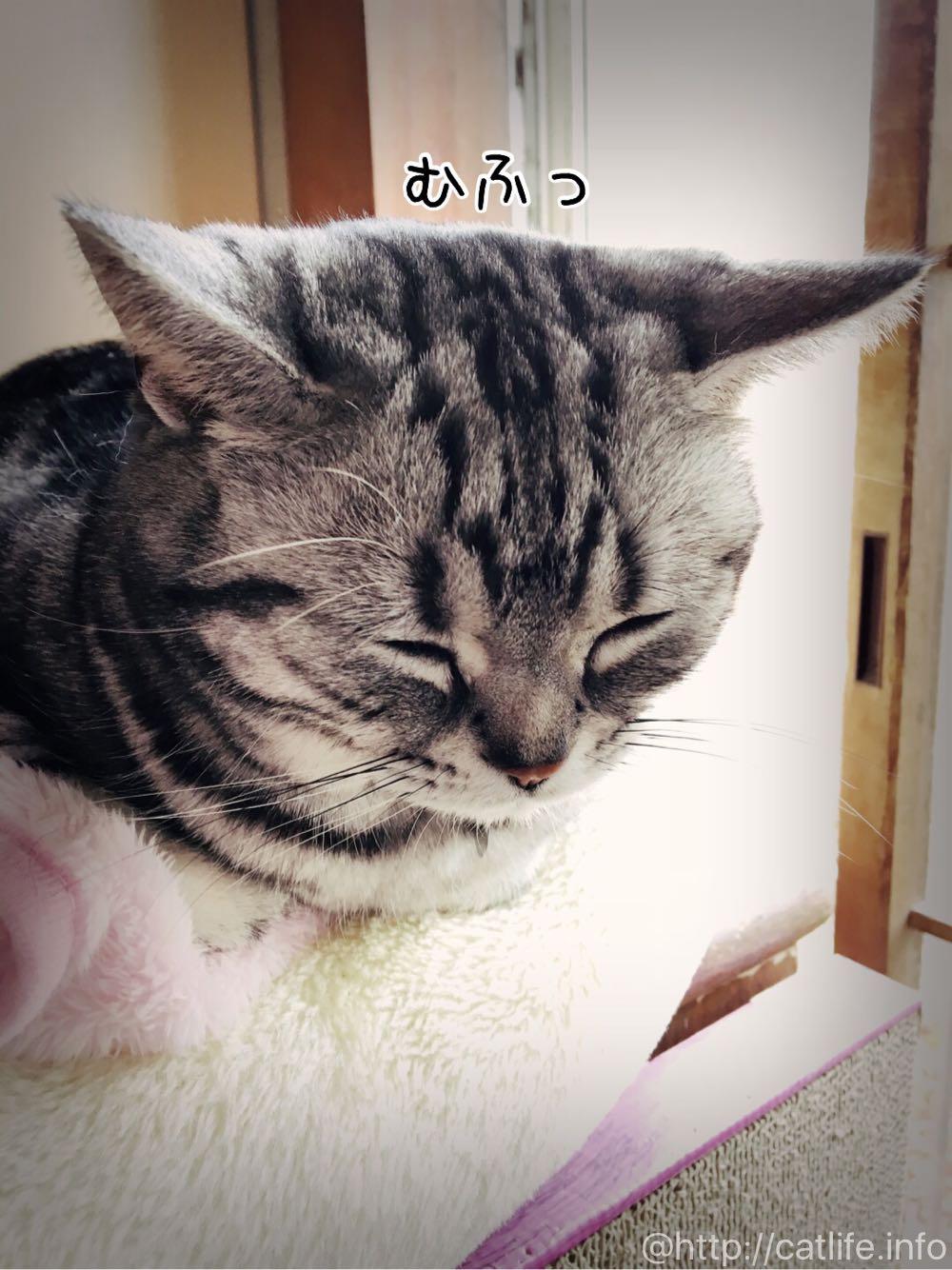 寝てしまったアメショーさくらたん。