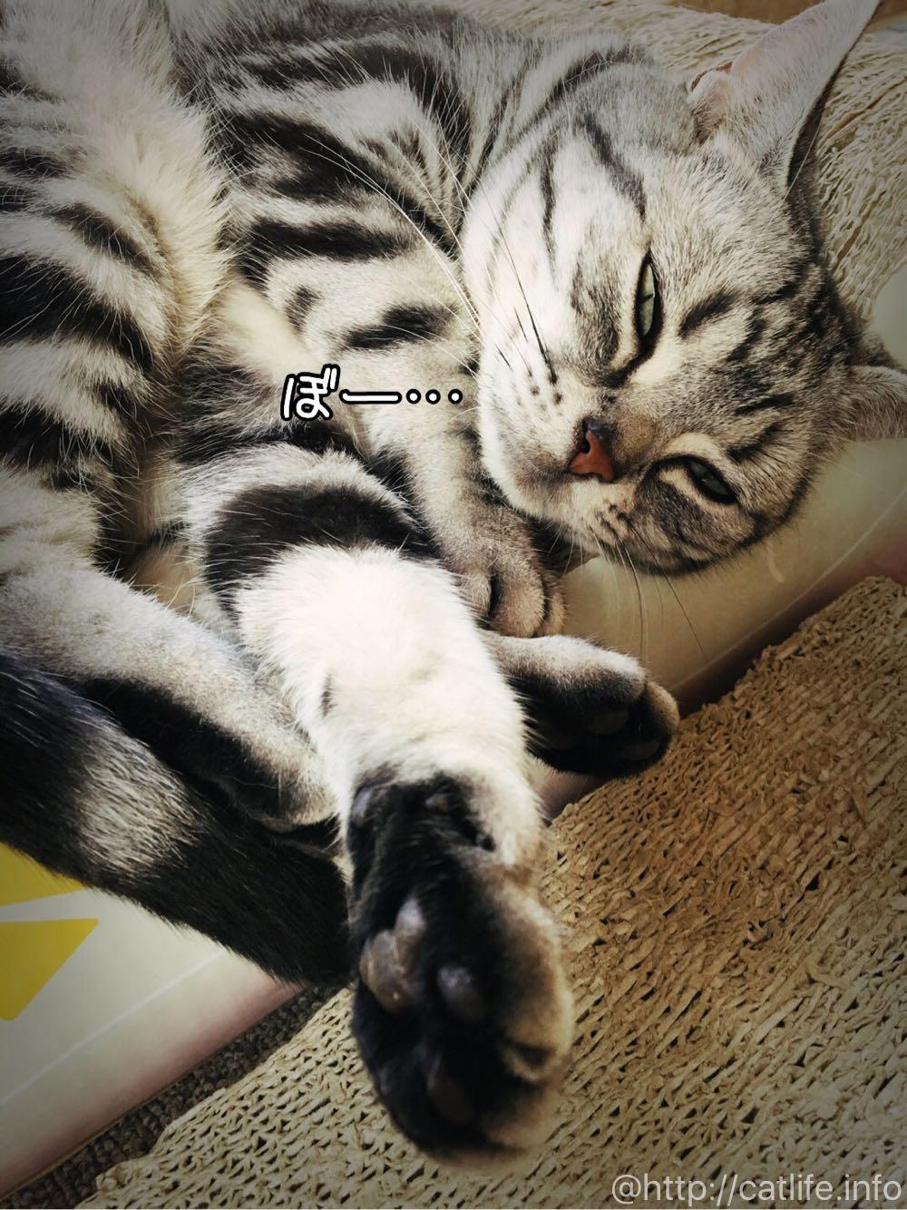 起きているのか、寝ているのか、ぼーっとしてるアメショーさくらたん