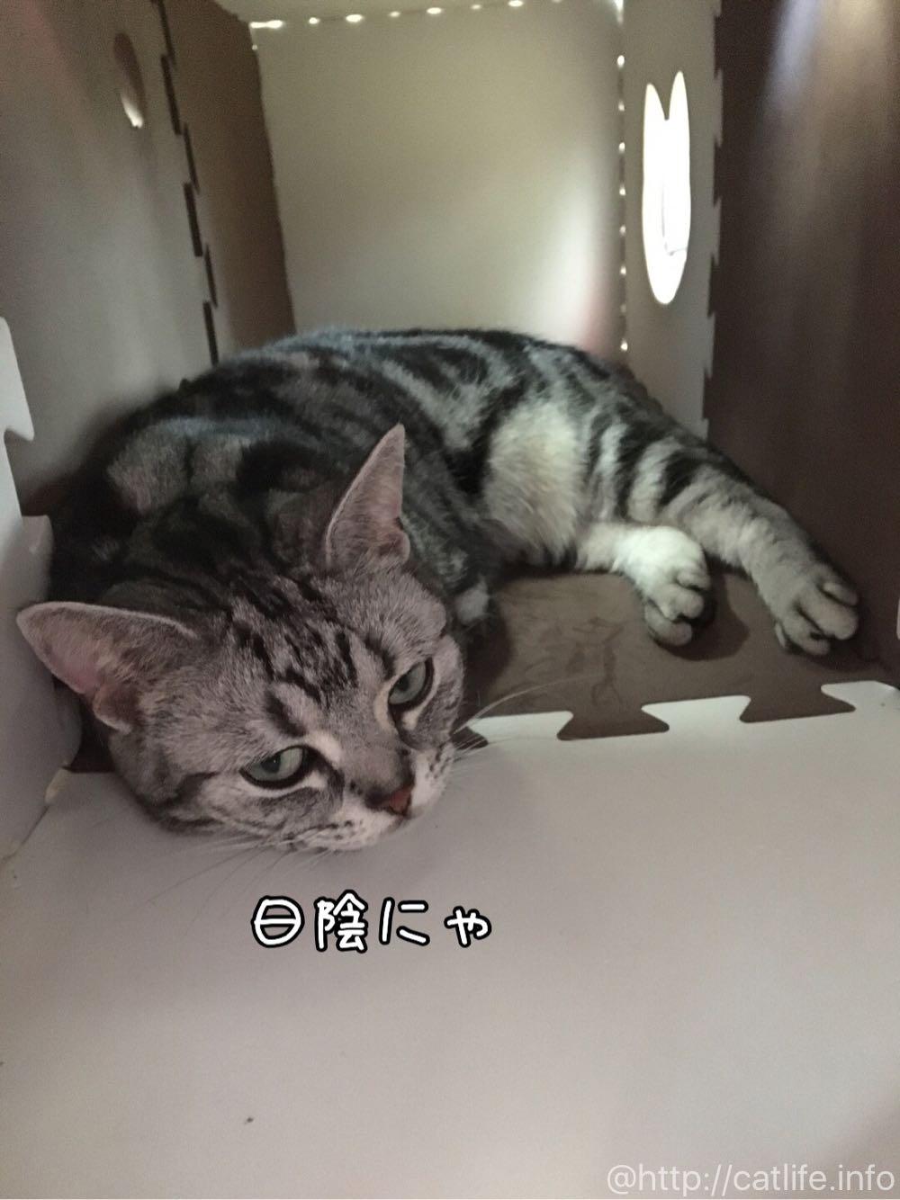 猫トンネルに移動したアメショーさくらたん
