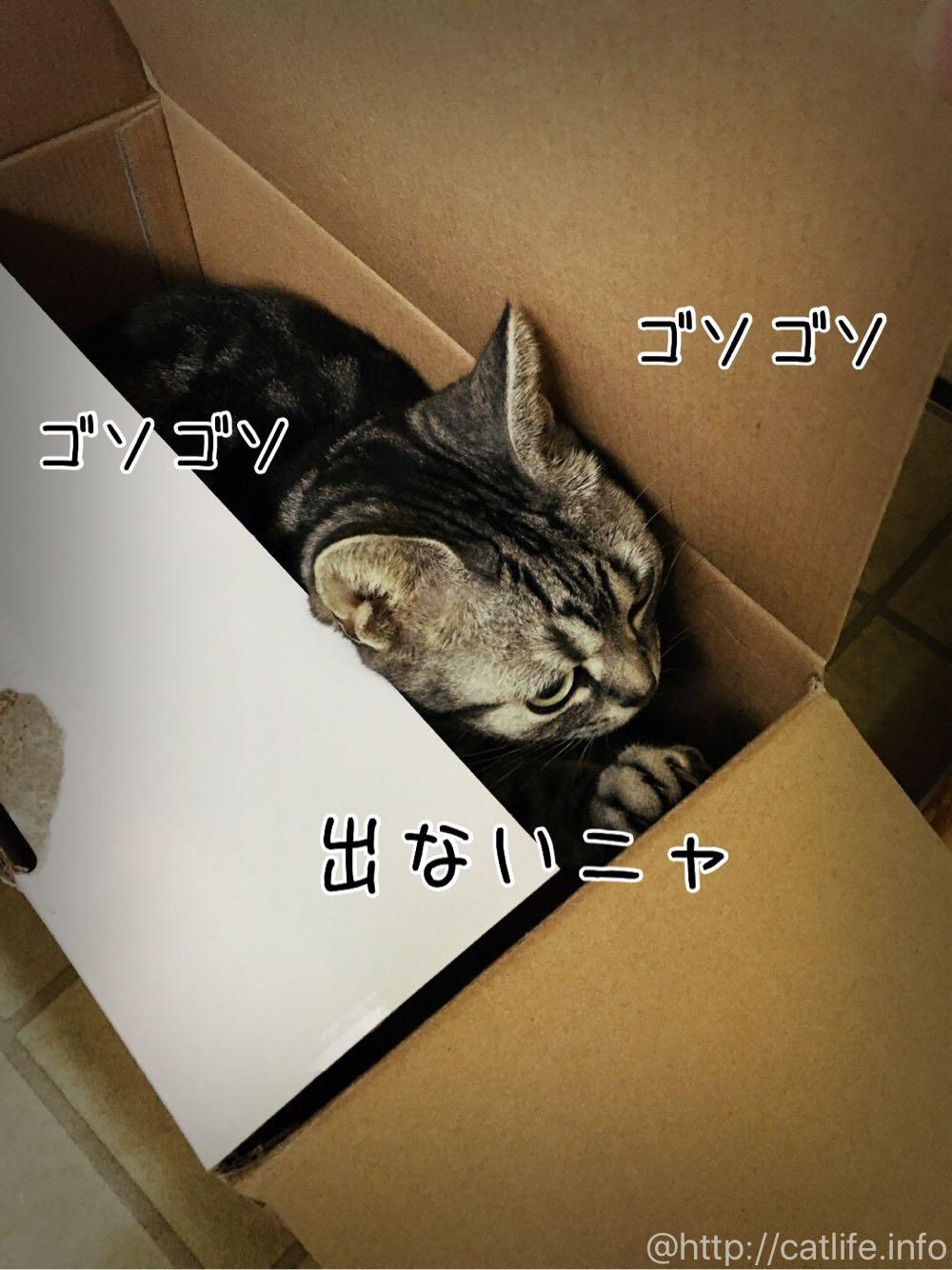 箱でゴソゴソするアメショーさくらたん。