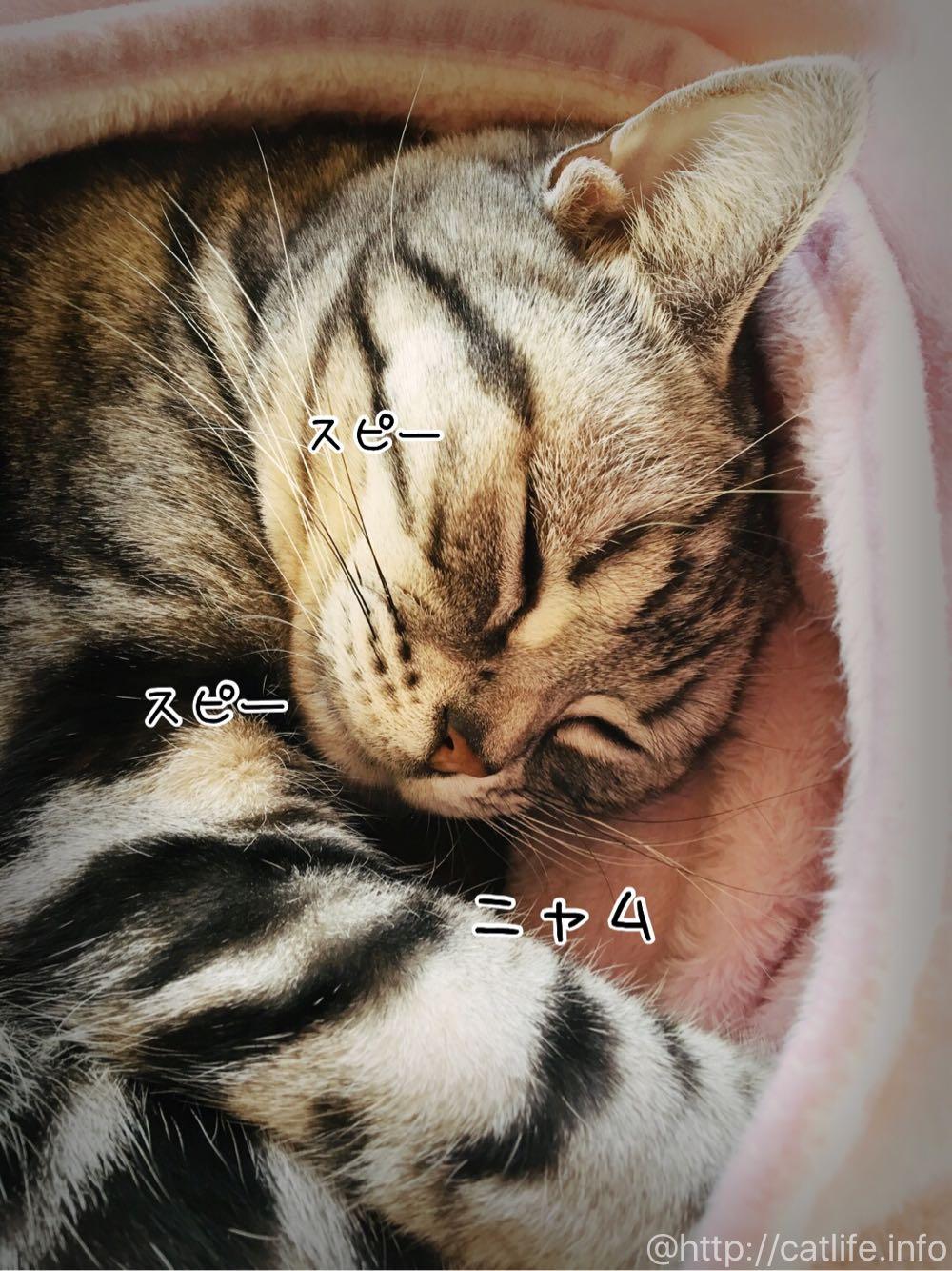スピースピーと寝息をたてるアメショーさくらたん。