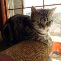 ペピイ「ごろん猫の爪とぎ」に乗るアメショーさくらたん