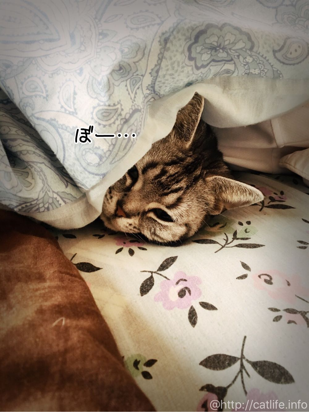 じいちゃんと布団寝するアメショーさくらたん