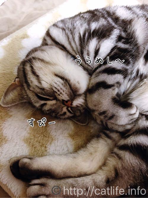 うらめしー寝するアメショーさくらたん。