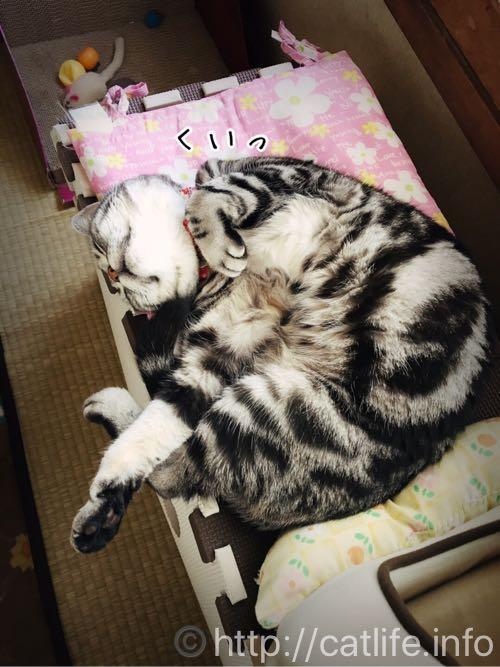 おててをくいっとしながら寝てるアメショーさくらたん。