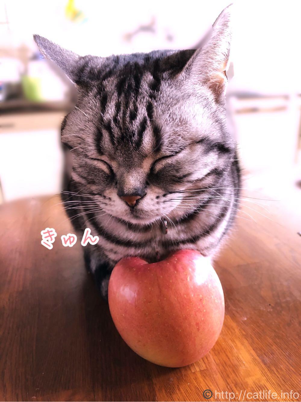 りんごをあっためるアメショーさくらたん。