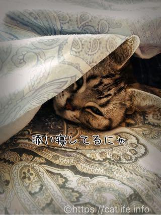 添い寝中のアメショーさくらたん。